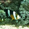 Orange clownfish (black variation)