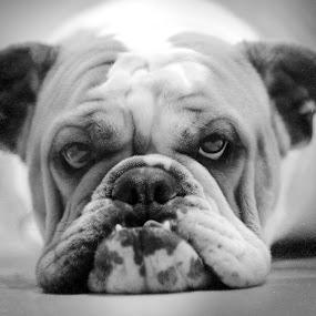 I observe you by Giovanni Bartolomeo - Animals - Dogs Portraits ( giobbyx )