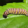 Skipper's Caterpillar