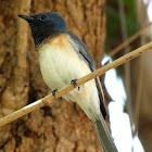 Leaden Flycatcher ( Immature Male )