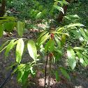 Cengal Tree