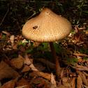 Parasol mushroom(?)