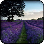 Wallpapers de lavanda