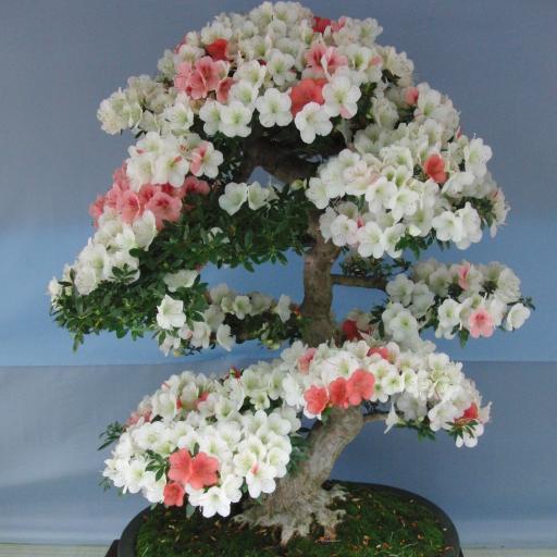 Bonsai(JP034)