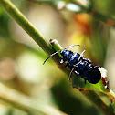 cobalt milkweed beetle or blue milkweed beetle