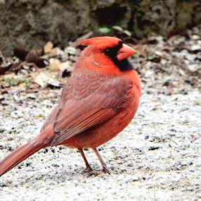 Cardinal by Dave Davenport - Animals Birds ( bird, wild life, cardinal, wildlife, birds, bird photography )