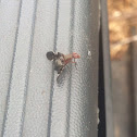 Picture-winged Fly