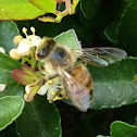 Western honey bee