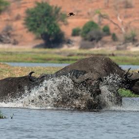 Buffalo Crossing to island by Joss van Wyk - Animals Other ( water, chobe, buffalo, botswana, africa )