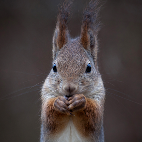 by Allan Wallberg - Animals Other ( animals, curious, winter, beautiful, cute, mammal, squirrel, animal,  )