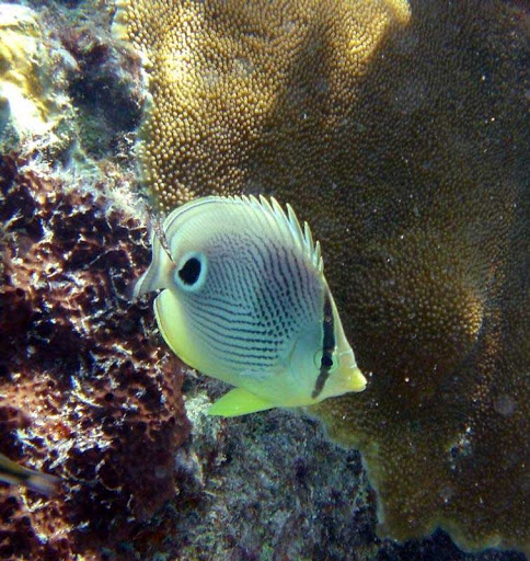 A butterfly fish spotted on a coral reef (yes, they still exist!) in the US Virgin Islands.