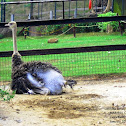 Ostrich or Common Ostrich
