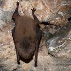 Murcielago de cueva