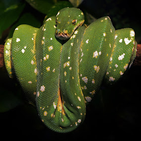 Green Tree Python by Thomas Barr - Animals Reptiles (  )