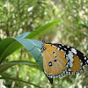 Plane Tiger Butterfly