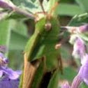 Green-Striped Grasshopper