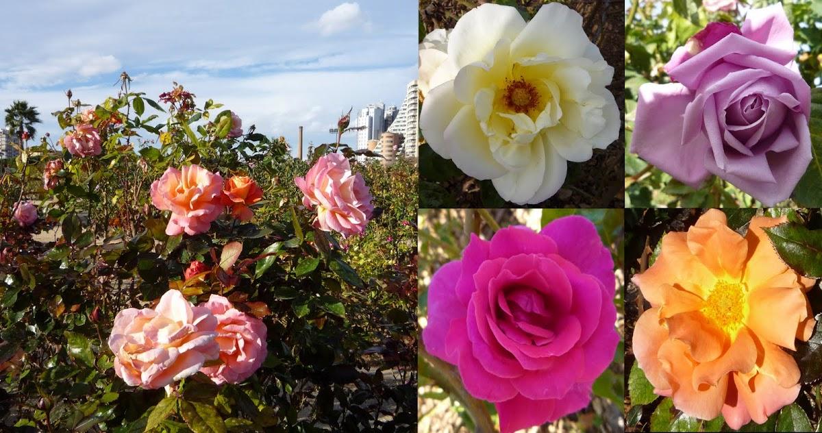 Rosaleda o rosedal