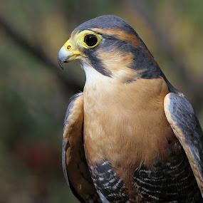 Aplomado Falcon by Sandra Blair - Animals Birds ( bird, bird of prey, south america, falcon, raptor,  )