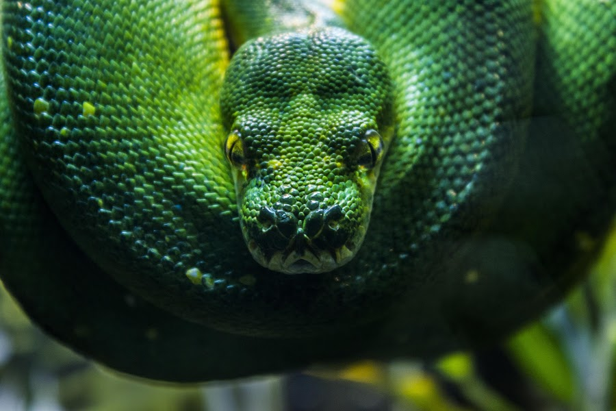 Green envy by Asja Radja - Animals Reptiles ( snake, color, green, yellow, eyes )
