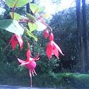 flor campanilla
