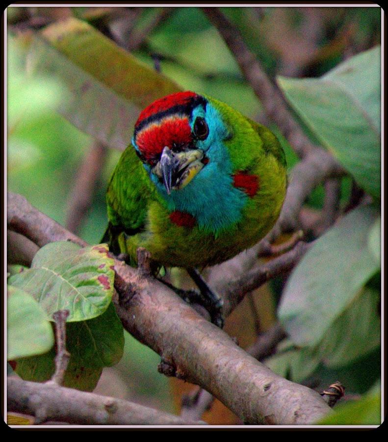 Blue Throated Barbet by Krishnendu Mitra - Uncategorized All Uncategorized (  )