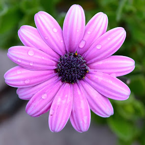 After A Brief Rain by Ed Hanson - Flowers Single Flower ( nature, purple, close-up, flower, rain )