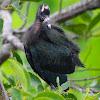 glossy ibis (chick)