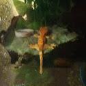 Crested Gecko, Eyelash Gecko, and Eyelash Crested Gecko