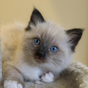 Ragdoll by Janice Poole - Animals - Cats Kittens ( cats, ragdoll, kittens,  )