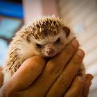 Hugh's Hedgehog