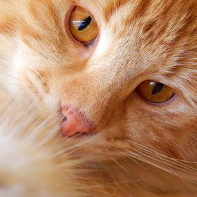 Sweet Zucky by Sheila Marques - Animals - Cats Portraits (  )