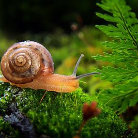 snail by Assaifi Fajarmass - Animals Other ( macro, bekicot, siput, snail )