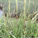 English Cord Grass