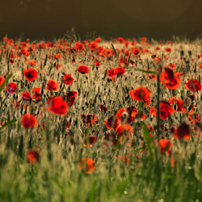 Poppies by Bogdan Negoita - Flowers Flowers in the Wild ( poppies )