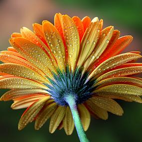 Orange inspiration by Biljana Nikolic - Flowers Single Flower ( plant, mood-lites, moods, colorful, multicolored gerbera, bulbs, beauty in nature, waterdrops, gerbera, lighting, color, wet, light, flower, mood factory )