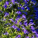 Garden Lobelia