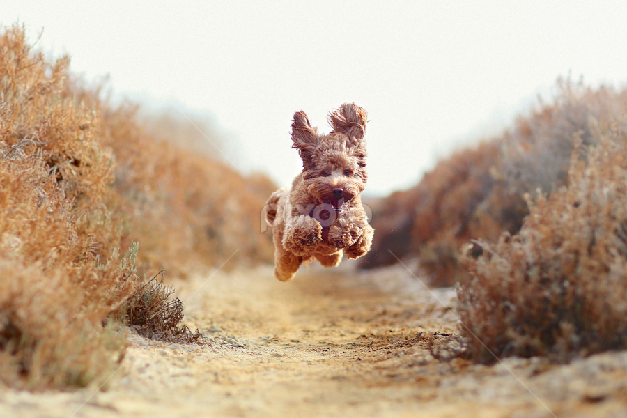 Puppy Air by Kathy Colman - Animals - Dogs Running ( #showusyourpets, dog running, labradoodle, dog in nature, dog jumping, dog, #garyfongpets,  )