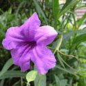 ruellia, wild petunias