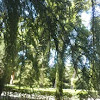 Taxodium mucronatum (Ahuehuete o Ciprés Moctezuma)