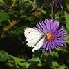 Cabbage White Butterfly - Male