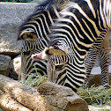 Grevy's Zebra Equus grevi