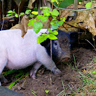 Wild Pig or Pig/Wild Varken of Varken
