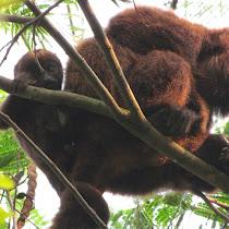 Brazilian Mammals - Mamíferos Brasileiros