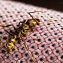 Wasp-like Predatory Ant