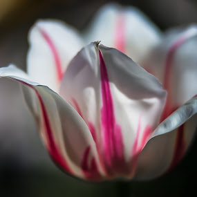 The tulip like by Nicola Ibba - Flowers Single Flower