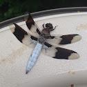 Whitetail Skimmer