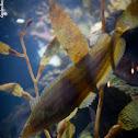 Giant Kelpfish