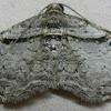 Bent-line Carpet Moth