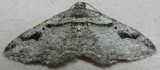 Bent-line Carpet Moth