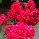 Mema's Roses